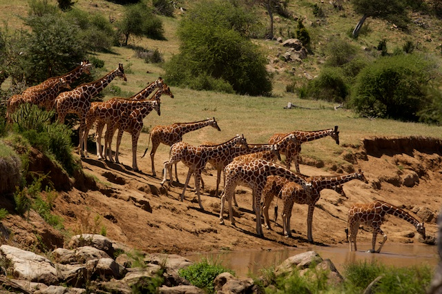 Reticulated giraffes cross a river
