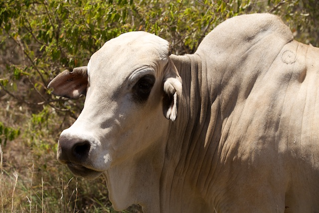 Boran cattle