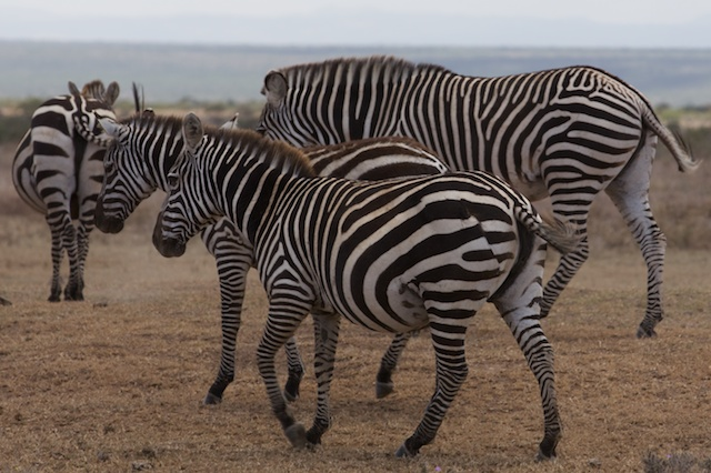 Plains (Burchell's) zebra showing signs of a lion attack