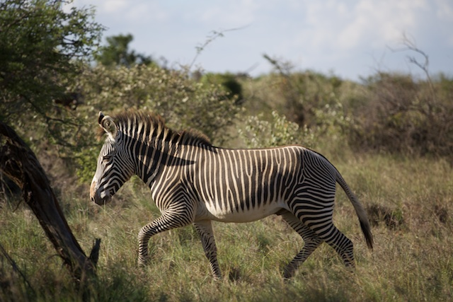 Grevy's zebra at Suyian Ranch