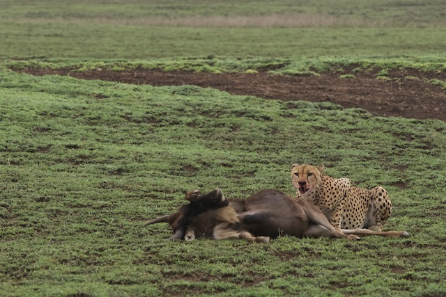The male cheetah with its kill