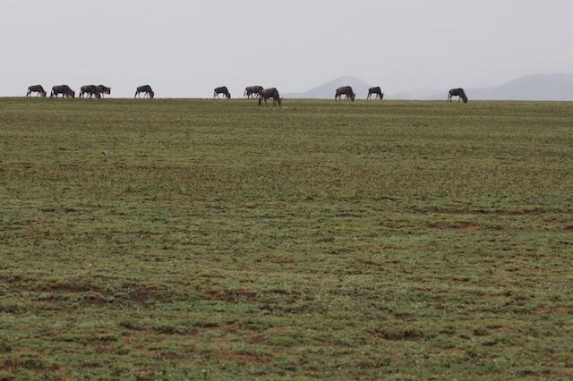 Wildebeest horizon
