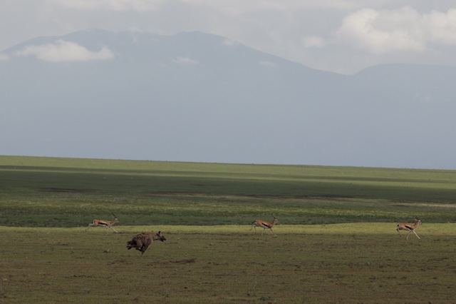 Spotted hyena and gazelles running