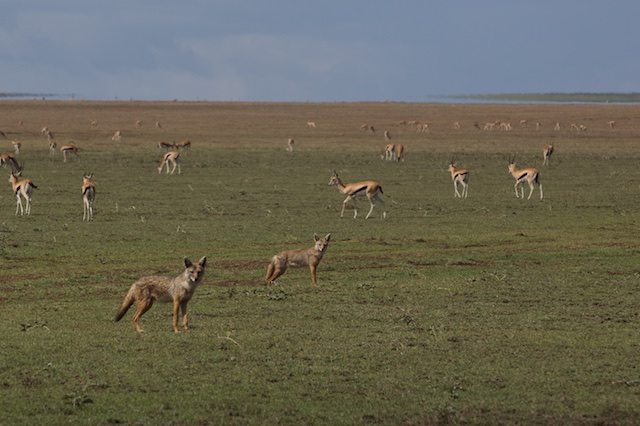 Golden jackals and Thomson's gazelles