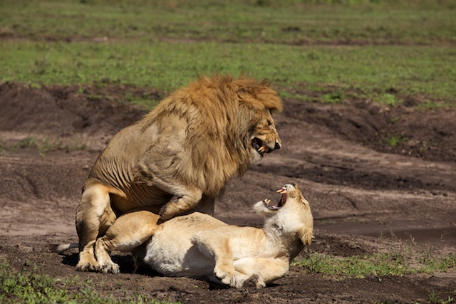 Lions mating 3