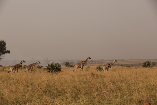A journey of Rothschild's giraffe
