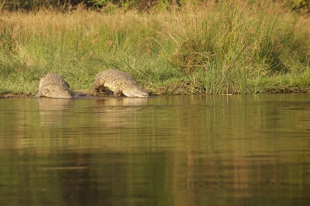 Nile crocodile basks