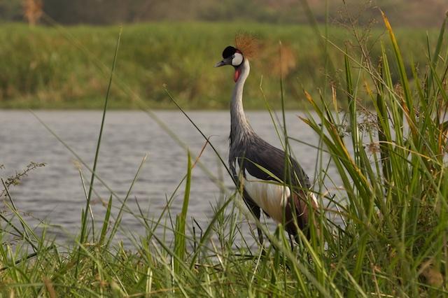 Uganda's national bird