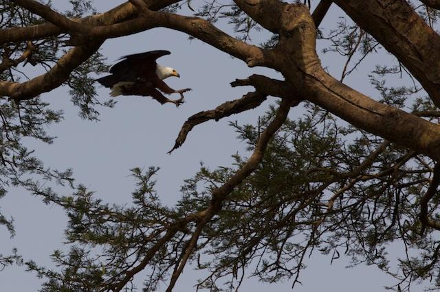 African fish eagle lands