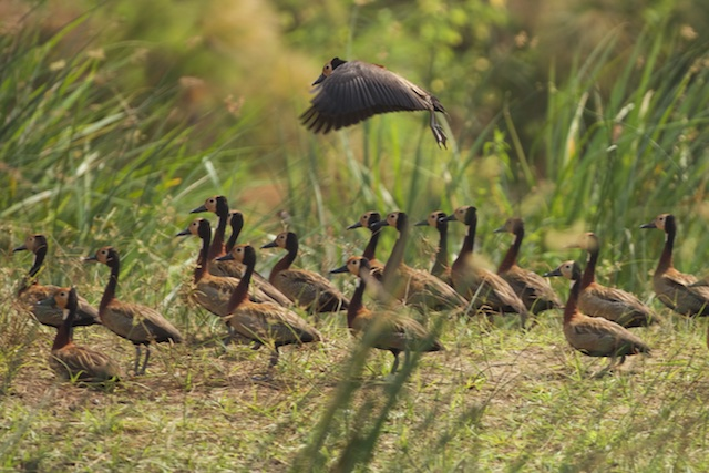 Whistling duck lands