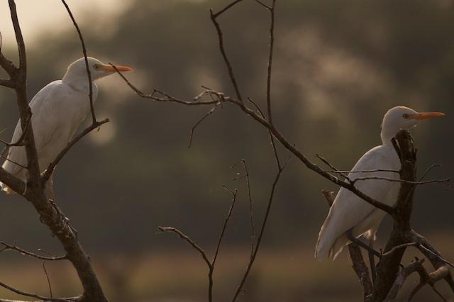 Cattle egret beauty