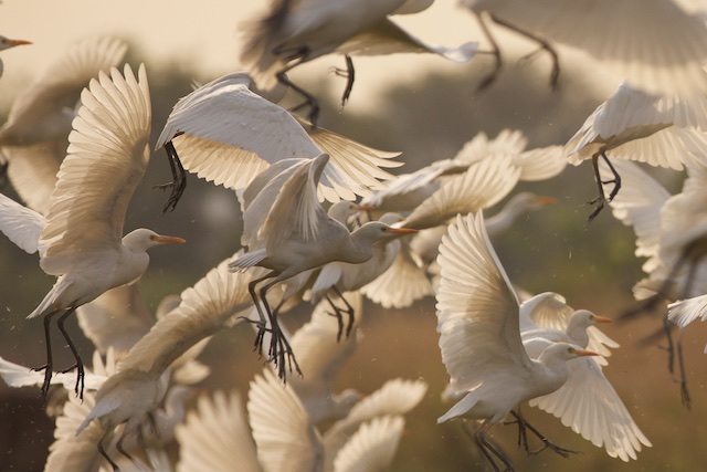 Cattle egrets take to the air