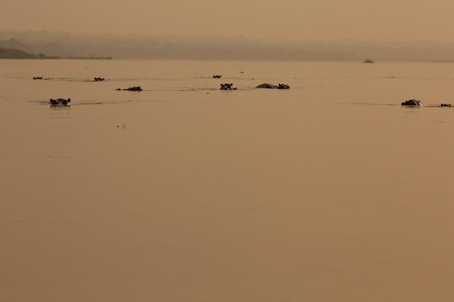 Hippos at dusk