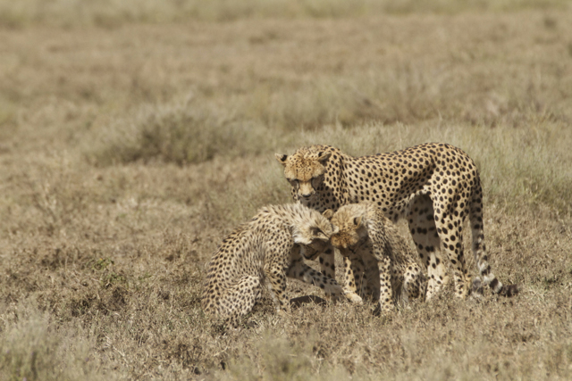 Cheetah cubs looking at the fawn