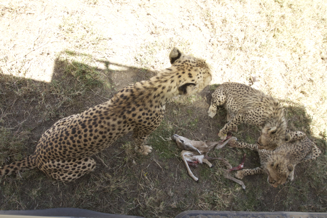 Cheetahs move to the shade of the vehicle