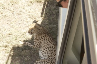 Watching the cheetah rest in the shade