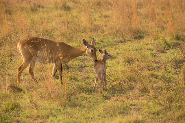Uganda kob and calf