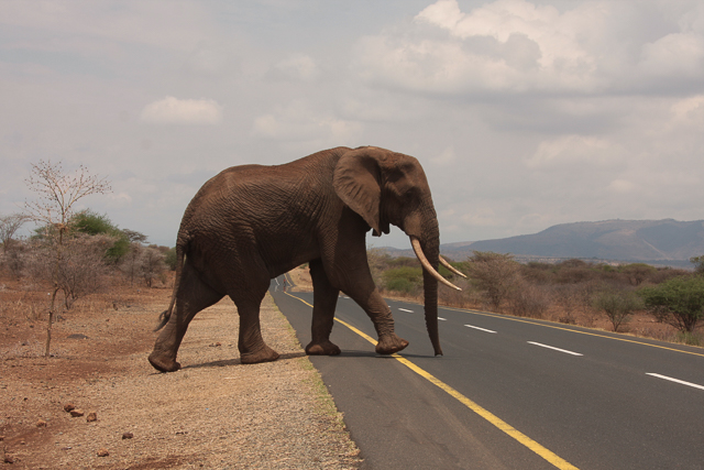 Elephant crossing highway