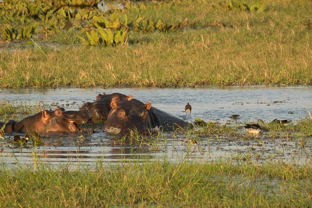 Swamp hippos