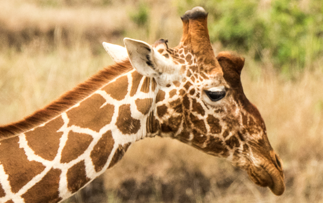 Reticulated giraffe head