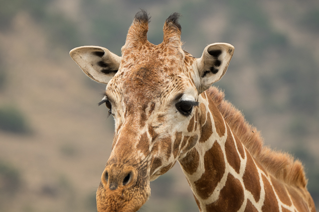 Reticulated giraffe face