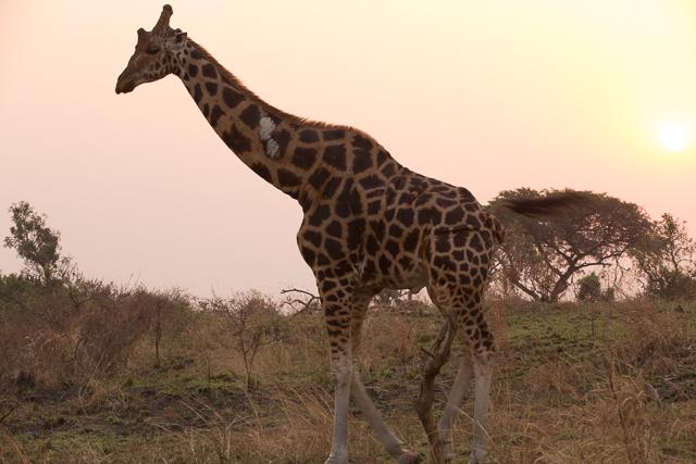 Rothschild's giraffe in Uganda