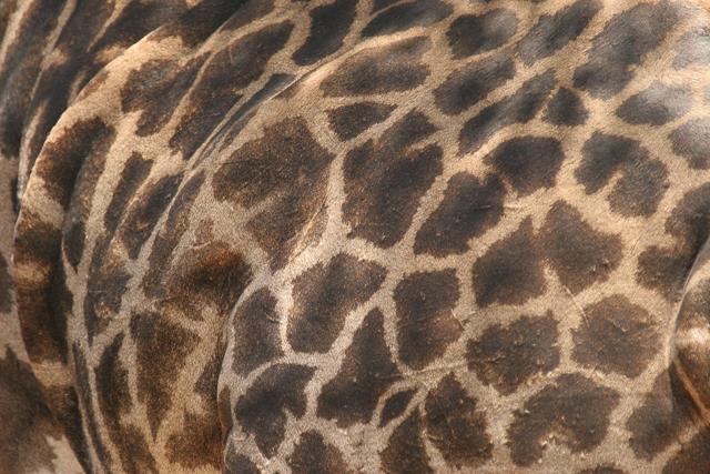 Masai giraffe patterns