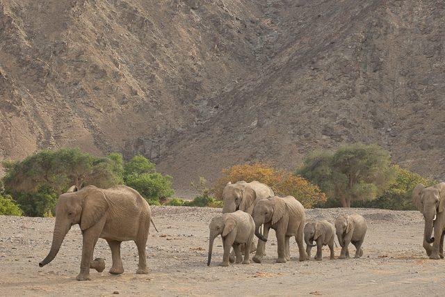 desert elephants arrive at the waterhole
