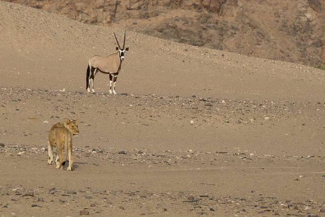 young lioness and oryx