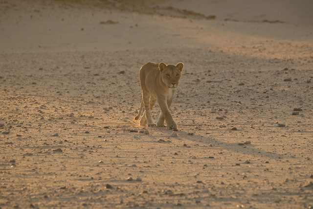 the young desert lioness