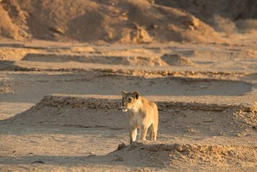 desert lioness stalks