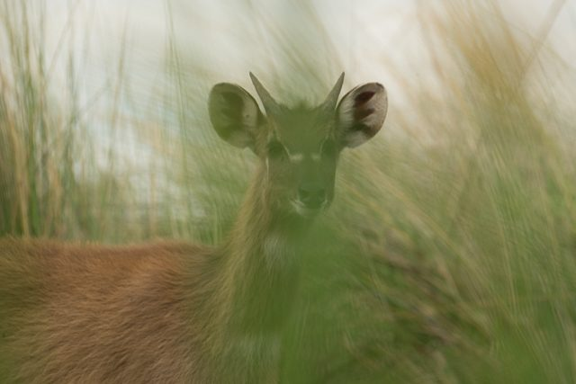 sitatunga through the reeds