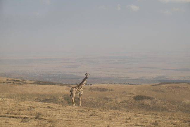 Giraffe near Entamanu Ngorongoro