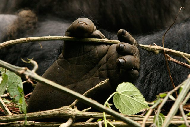 Gorillas Rwanda 2008 056 (10 of 137)