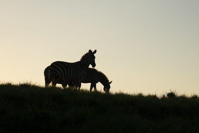 zebra-7275