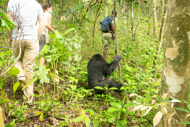 Tracking wild chimpanzees