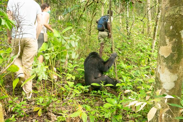 Tracking wild chimpanzees