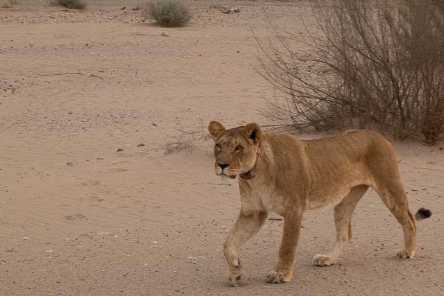 desert_lion-0294