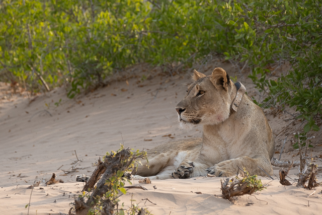 collared young lioness