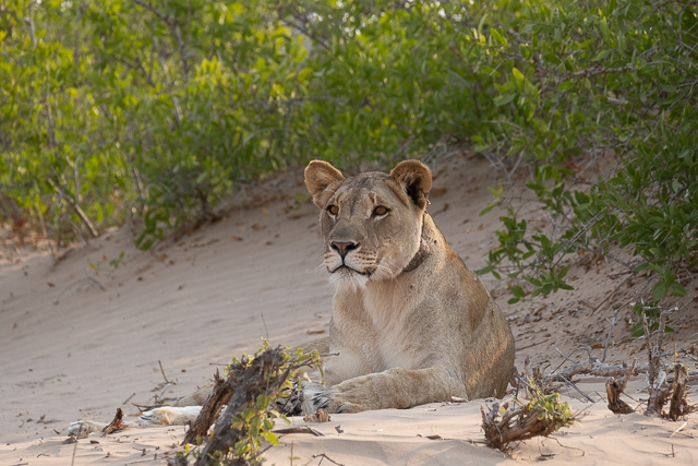 alert young lioness
