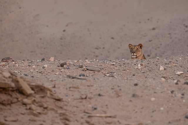 young lioness in dune