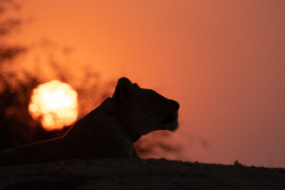 young lioness at sunset