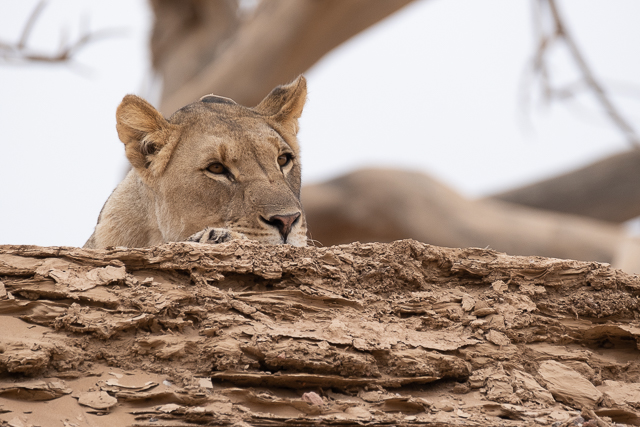 young lioness relaxing