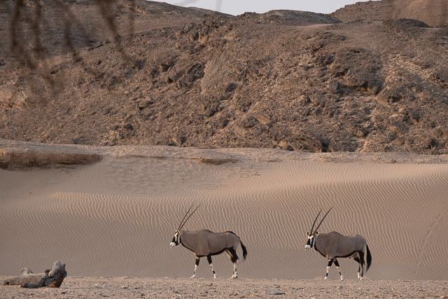 Oryx and desert