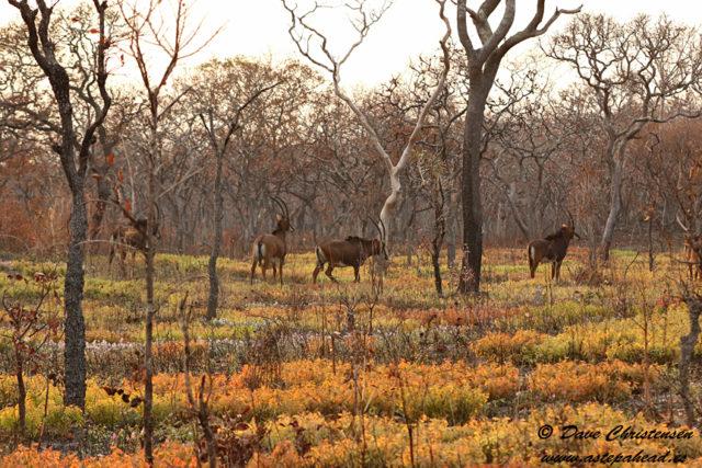giant sable antelope females