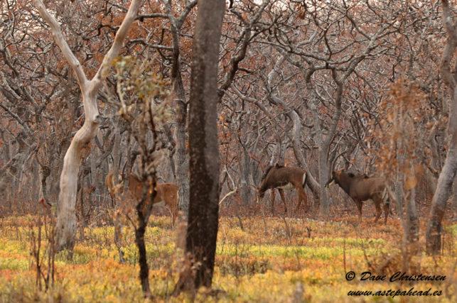 giant sable antelope