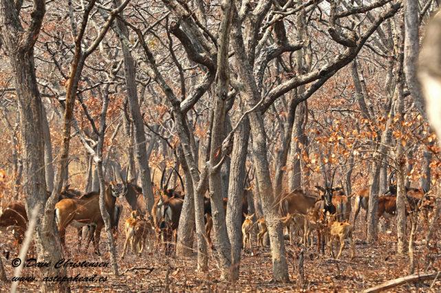 breeding herd of giant sable antelope