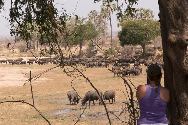 Buffalo viewing on foot